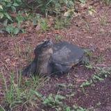 与被延伸的脖子的佛罗里达鳄龟 库存图片
