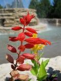 与被弄脏的喷泉的明亮的红色花 免版税库存图片