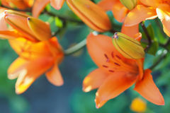 与被弄脏的橙色百合花和芽的五颜六色的用花装饰的背景 库存照片