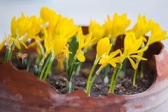 与被打开的花的金黄黄色番红花在庭院罐 库存图片