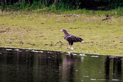 与被抓的鱼的白被盯梢的老鹰临近河IJssel,荷兰 库存图片