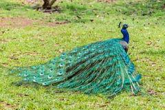 与被折叠的尾巴的男性印地安孔雀孔雀座cristatus 库存图片
