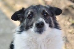 与被折叠的耳朵的一条哀伤街道狗看照相机 库存照片