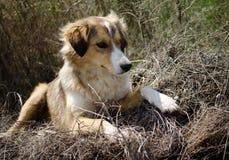 与被折叠的耳朵的一条哀伤街道狗看照相机 免版税图库摄影