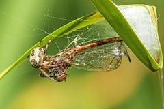与被捉住的蜻蜓的花园蜘蛛 免版税库存照片