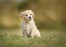 与被掀动的头的金毛猎犬小狗 库存图片