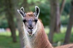 与被撕毁的耳朵头和脖子的骆马 免版税库存图片