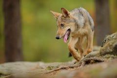 与被撕毁的舌头的狼 免版税库存照片