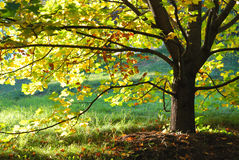 与被日光照射了叶子的秋天槭树 图库摄影