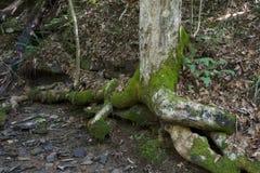 与被暴露的根和小河的树 免版税图库摄影