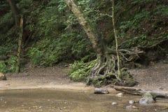 与被暴露的根的树由小河 免版税库存照片