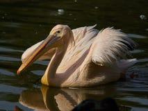与被松开的翼的巨大的美丽的白色鹈鹕水的表面上 库存照片