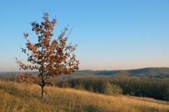 与被染黄的叶子的一个年轻橡树在秋天 库存照片
