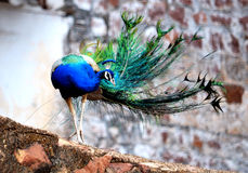 与被涂的尾巴全身羽毛的公孔雀(孔雀)鸟 免版税库存图片