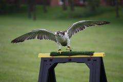 与被涂的翼的一只美丽的白色北极鹰猛禽鸟 免版税库存照片
