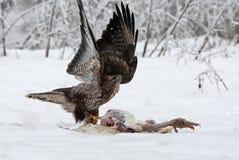 与被涂的翼的共同的肉食鵟鸟鵟鸟在冬天 库存图片