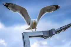 与被涂的翼的海鸥 库存照片