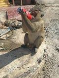 与被窃取的罐头的猴子可口可乐 免版税库存照片