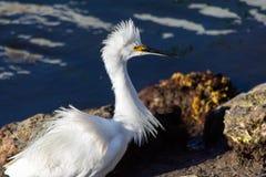 与被翻动的全身羽毛的白色白鹭 库存图片