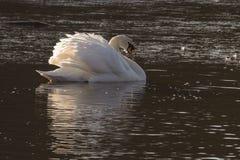 与被翻动的羽毛的一只天鹅在一个部分地冰冷的池塘 库存照片