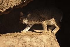 与被聚焦的神色的美洲野猫在洞 免版税库存图片