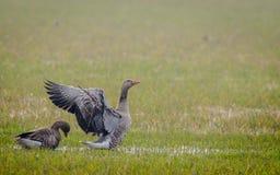 与被舒展的翼的灰雁 免版税图库摄影