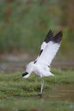 与被舒展的翼的长嘴上弯的长脚鸟 免版税库存照片