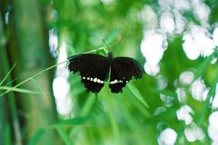 与被舒展的黑翼的黑蝴蝶 免版税图库摄影