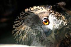 与被转动的头和一只眼睛的猫头鹰能看到 免版税库存图片