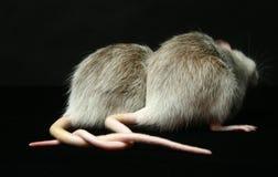 与被连接的尾巴的鼠 库存照片
