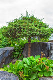 与被铸造的修剪冠的松木在自然石头中 图库摄影