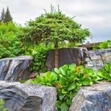 与被铸造的修剪冠的松木在自然石头中 免版税库存图片