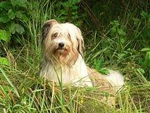 与被铺平的耳朵的蓬松小狗反对头 免版税库存图片