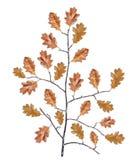 与被隔绝的全部的老干燥黑木分支干燥褐色叶子 免版税库存图片