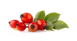 与被隔绝的叶子的莓果野玫瑰果 免版税图库摄影
