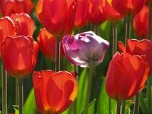 与被隔绝的紫色和白色郁金香的红色郁金香 库存照片