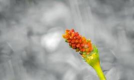 与被隔绝的红色种子的一个美丽的词根 库存图片