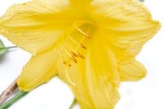 与被隔绝的绿色叶子的雌蕊黄色黄花菜'Happy Returns'萱草属植物 库存图片