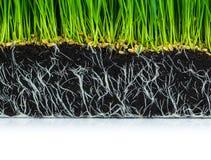 与被隔绝的根的新鲜的绿色麦子草 免版税库存图片