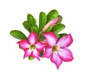 与被隔绝的绿色叶子的沙漠玫瑰色花 免版税库存照片