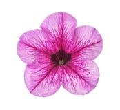 与被隔绝的绿色雄芯花蕊的淡紫色花 免版税库存图片