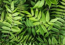 与被雕刻的叶子的庭院灌木 特写镜头自然深绿植物自然视图使用作为背景或墙纸 免版税库存照片