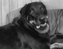 与被震惊的表示的狗 免版税图库摄影