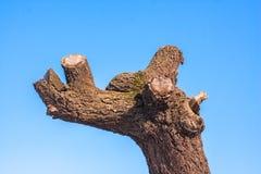 与被整理的分支的老树在蓝天 库存图片