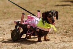 与被麻痹的后腿的达克斯猎犬佩带附上轮子在事件 库存图片