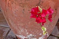 与被绘的水泥罐的樱桃色的湿九重葛花 免版税库存照片
