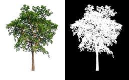 与裁减路线的唯一树 图库摄影