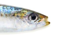 与裁减路线的沙丁鱼 库存图片
