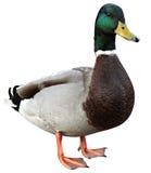 与裁减路线的野鸭鸭子。 免版税库存图片