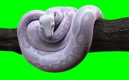 与裁减路线,白变种水蟒,球Python的大蟒蛇 向量例证